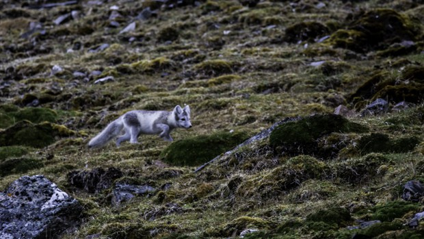 An arctic fox stalking prey on the Arctic tundra