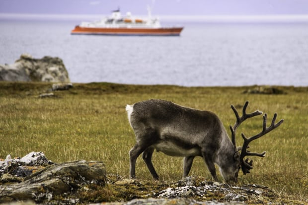 Caribou grazing in the foreground with a small ship anchored in the background