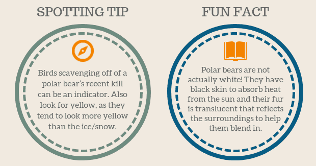 Polar Bear Spotting Tip Facts graphic