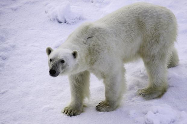 A polar bear walking on the snow