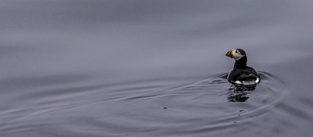 A puffin swimming in the Arctic Ocean