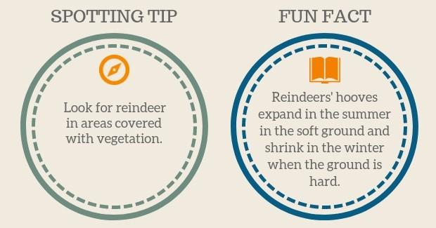 Caribou Reindeer Spotting Tip Fact Hooves
