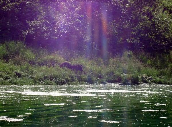 Black bear walking towards the Kenai River from the grassy shoreline.