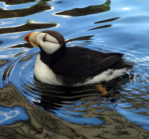 Puffin swimming in the Alaskan ocean.