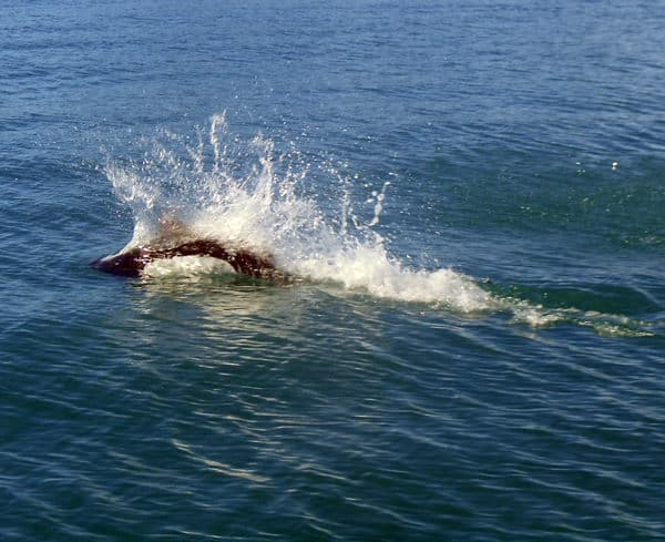 Kenai Porpoise playing in the ocean.