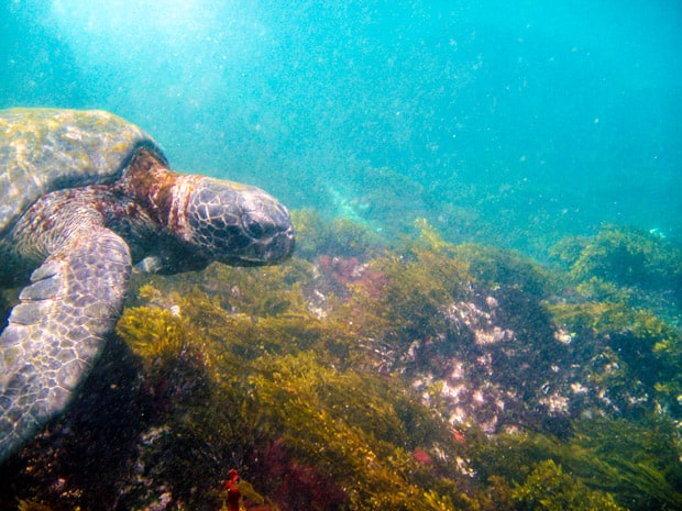 Turtle underwater on snorkeling excursion in Hawaii.