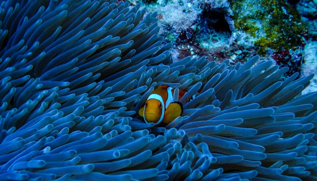 Clown fish in anemone seen from a snorkel excursion in the South Pacific.