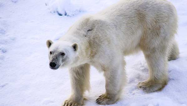 An Arctic polar bear standing on white ice looking up toward the camera.
