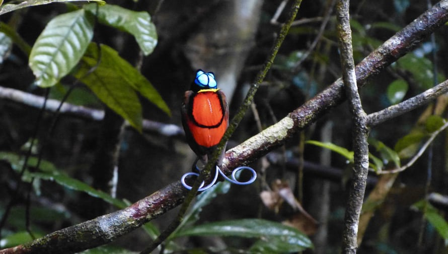 A red and blue Indonesia bird-of-paradise sits on a branch among green leaves.