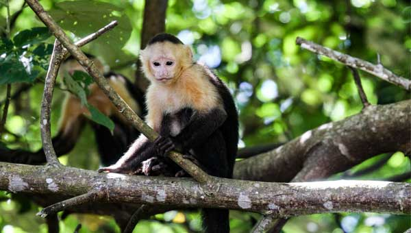 Small white-&-black monkey sits on a tree branch in the Panama jungle.