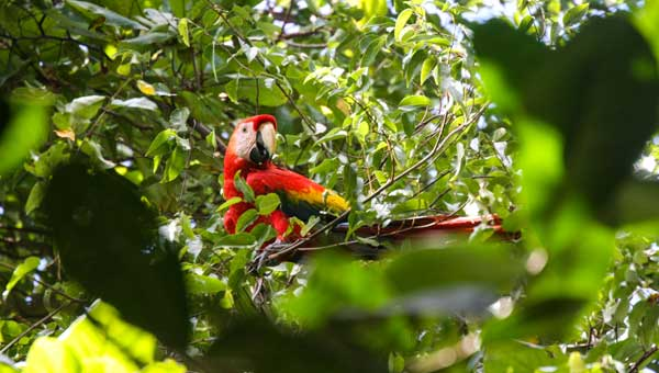 A scarlet macaw with red, gold & blue feathers sits in a bright green, leafy tree, looking down at the camera during a Panama vacation.