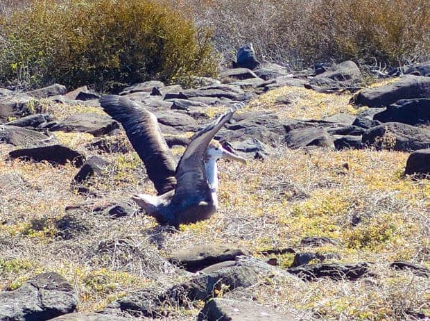Waved Albatross perched on ground cover and rocks at Suarez Point in the Galapagos.