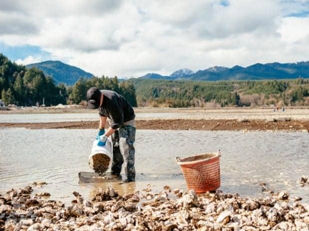 Hama Hama Oyster Farm harvesting oysters on the Olympic Peninsula in Washington.