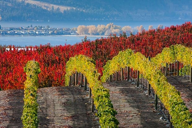 Vineyard and fall colors during autumn in the Pacific Northwest.