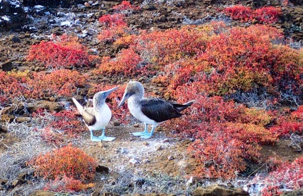 2 Blue Footed Boobies on a rocky coastal bluff with red and orange brush scattered about.