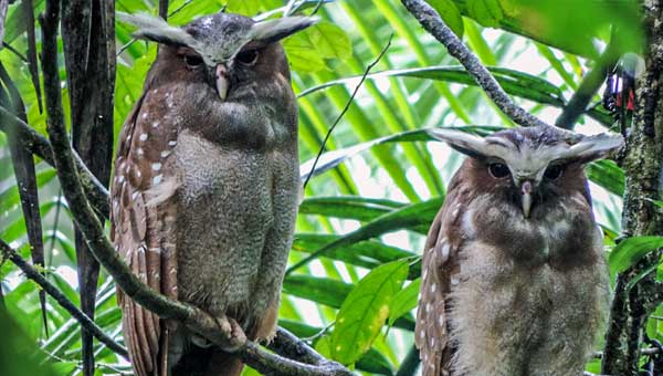2 owls with wide horn-looking eyebrows & brown feathers with white spots sit on a tree branch on an Ecuador land tour for birders.
