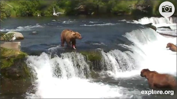 Still image of the live web cam with three brown bears hunting for salmon in Brook falls in Katmai National Park and Preserve, Alaska