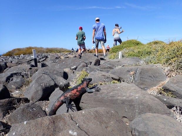 Galapagos marine iguana climbing up volcanic rock with travelers walking on a hike.