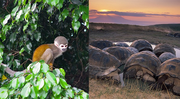 Monkey in the Ecuadorian Amazon forest and Giant Galapagos tortoise in the Galapagos islands.