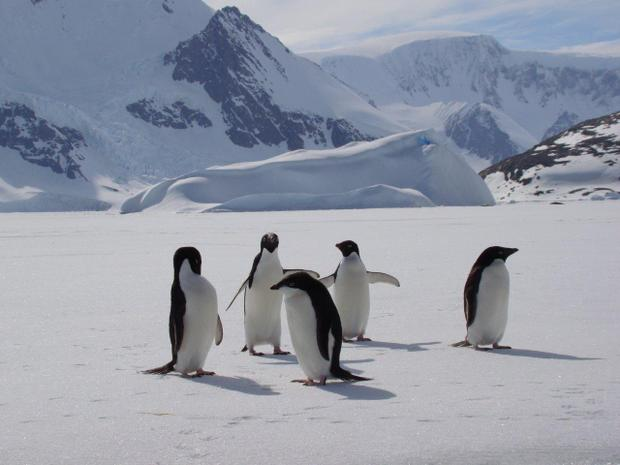 5 penguins waddling on the snow seen from a small ship cruise in Antarctica.
