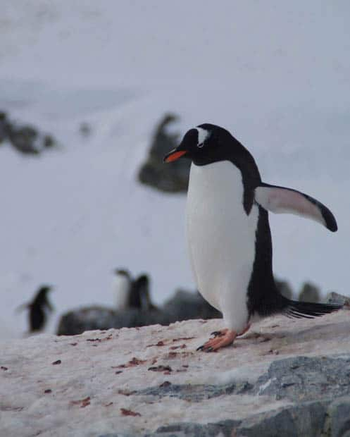 Penguin with wings out on a rock in Antarctica.