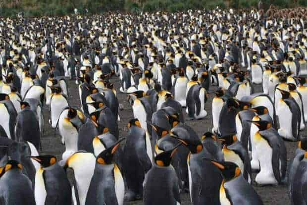 Large group of King penguins seen from a small ship Antarctica excursion.