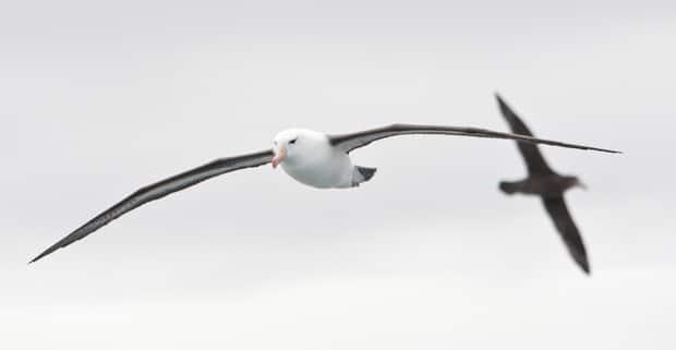 Two albatross birds flying in Antarctica.