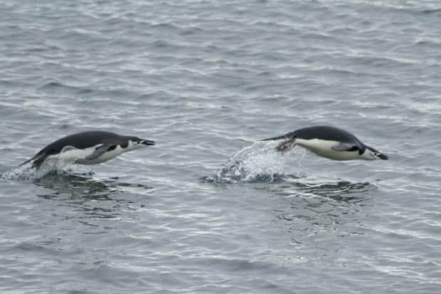 Two penguins jumping out of the water swimming through Antarctica seen from a small ship cruise.