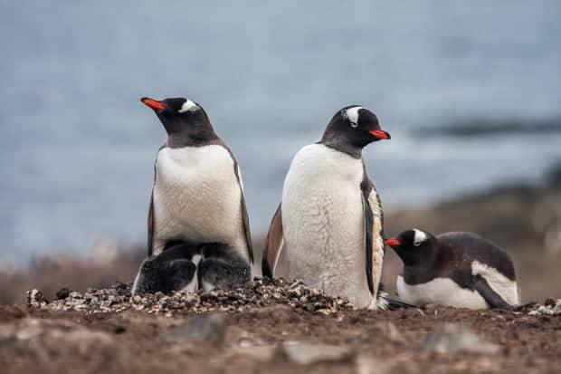 Three penguins nesting in Antarctica.