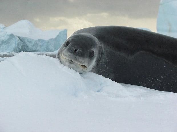 Sea lion resting on snow in Antarctica.