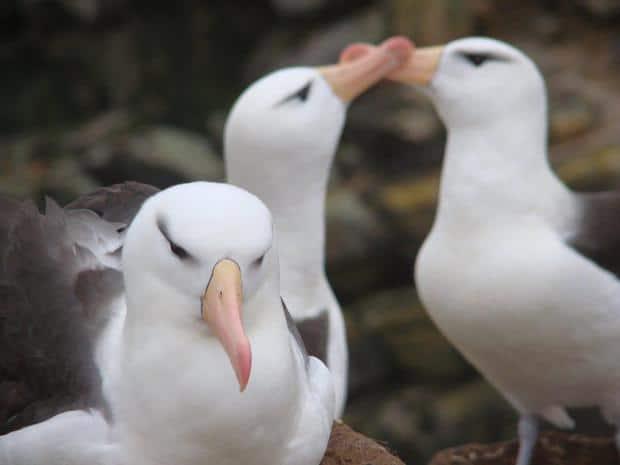 Three albatross on land in Antarctica.