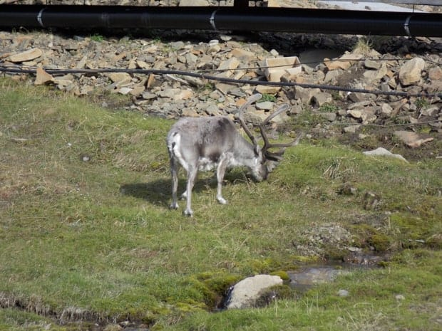 Reindeer seen from a small ship excursion in the Arctic.