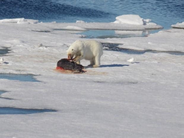 Polar bear eating a seal on floating ice seen from a small ship in the Arctic.