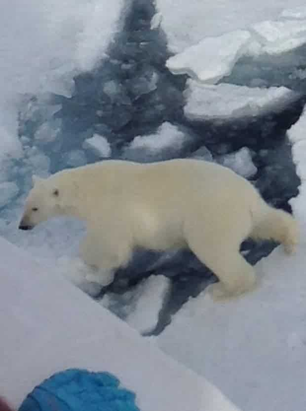 Polar bear walking across floating ice patches in the Arctic seen from a small ship cruise.