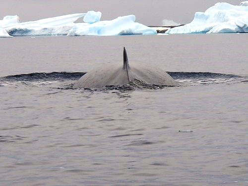 Whale fin with icebergs seen from a small ship cruise in Antarctica.