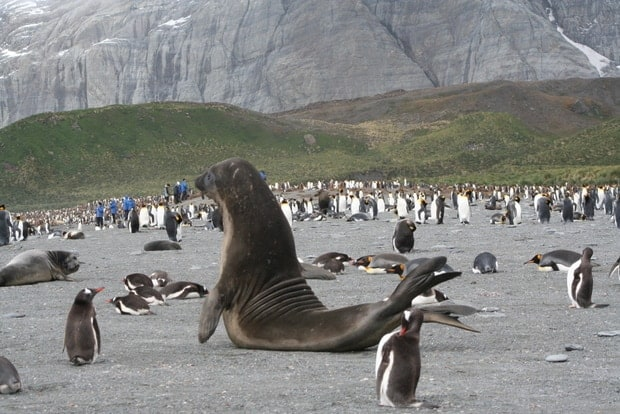 Sea lions surrounded by penguins on the sand in Antarctica.