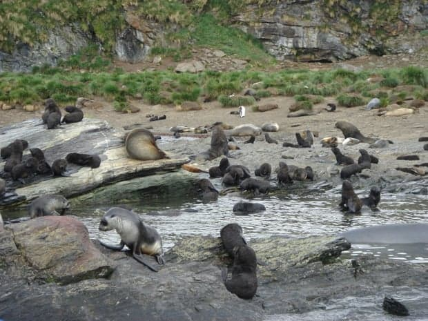 Group of sea lions on rocks at the beach in Antarctica.