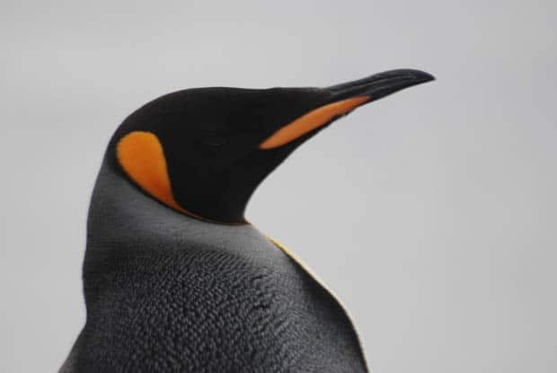 Up close of a penguin in Antarctica.