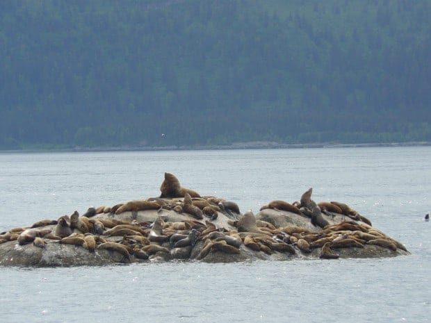 Colony of sea lions covering a rock out cropping in the Alaskan ocean.