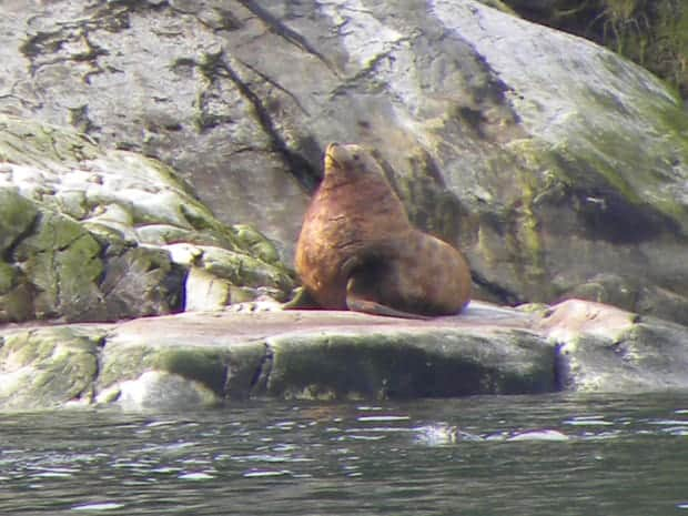 Large sea lion basking on a rock in Alaska.