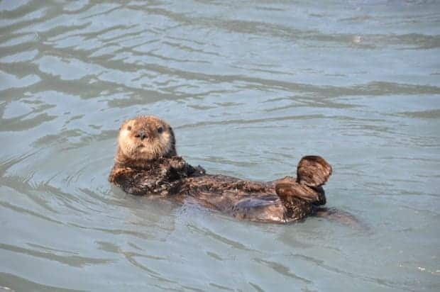 Sea otter laying on its back floating in the ocean in Alaska.