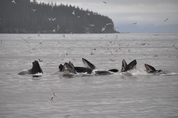 Group of humpback whales bubblenetting with a flock of birds surrounding  them as the mouths of the humpbacks are open.