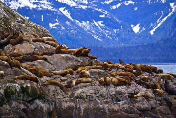 Group of seals on rocks seen from a small ship cruise in Alaska.