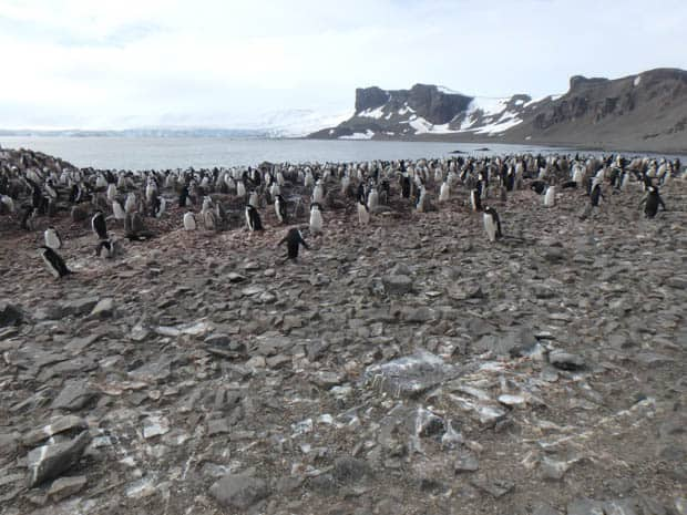 Large group of penguins on the rocky beach seen from a small cruise ship tour in Antarctica.