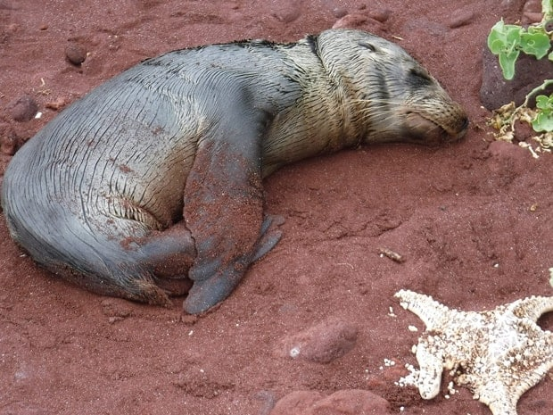Baby sea lion on the dark sand beach in the Galapagos.