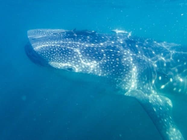 A large spotted whale shark swimming in the blue ocean waters of Baja.