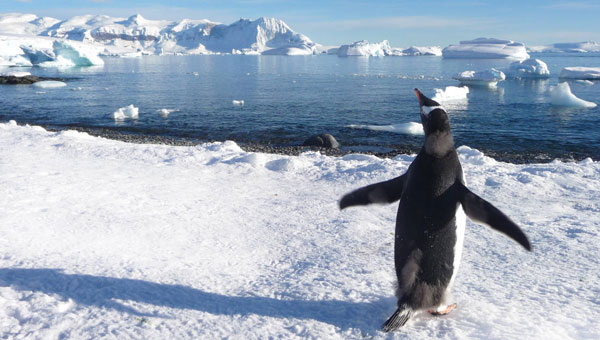 Gentoo penguin stands on a snow-laden hillside overlooking icy waters during an Antarctica Chile cruise.