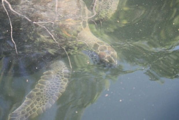 Turtle underwater seen from a small ship cruise in the Galapagos.