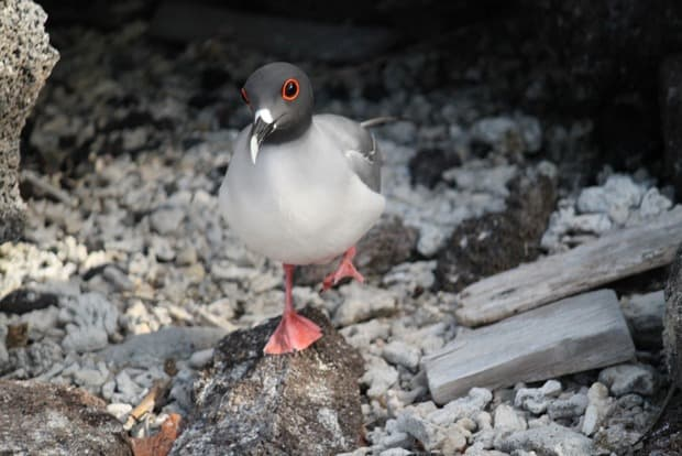 Bird walking on rocks seen on a tour from a small ship cruise in the Galapagos .