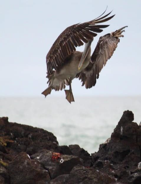 Pelican flying above rocks on the beach in the Galapagos.
